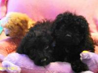 Multi Gen Toy/Mini Doodle Puppies; 12 wks, shots,