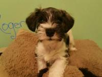 Sweet mini schnauzer babies, 8 weeks old, ckc