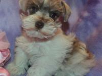 SMALL TOY Mini Schnauzer Girl AKC. This gorgeous little