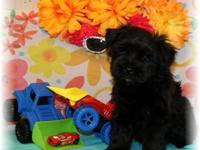 Gorgeous toy-miniature size schnauzers available. Just