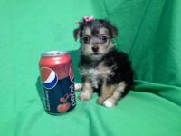 """ MILLIE ""...toy MORKIE female!! UCKI registered"