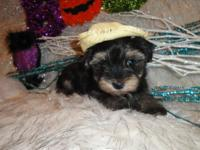 I have 3 TOY male Morkie. They anticipated full grown
