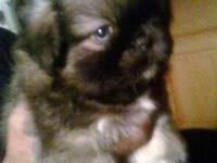 Toy Pekingnese Puppie, male,vet checked, first