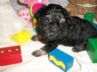 Toy Poodles, born July 21, 2012 Mom is a CKC registered