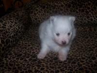 Registered Toy Pomeranain Pup.. Male,, Unique colored