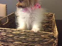 I have a male toy Pomeranian for sale. He is 10 weeks