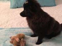 Adorable 5 month old female CKC pure breed Pomeranian