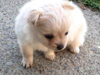 We have an adorable toy sized Pomeranian Chihuahua
