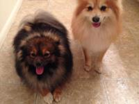 I have 6 (2 boys/4 girls) adorable Toy Pomeranian