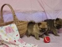 pomeranian puppies: 2 female, 2 male available - Had