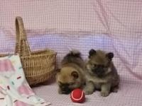 Pomeranian Puppies: males and females available - Had
