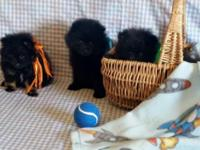 pomeranian puppies: 2 males available -9wks old., had