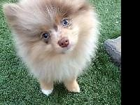 Gorgeous Newborn Purebred Pomeranian Puppies 3 Female,