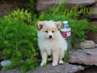 The Pomeranian/ taco terrier is a tiny, fluffy dog.