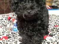 I HAVE 1 MALE TOY POODLE READY FOR HIS NEW HOME. PUPPY