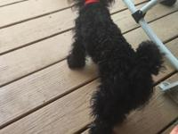 I have a 9 month old male toy poodle that needs a