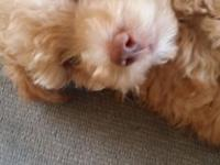 I HAVE A TOY POODLE FOR SALE. 1 MALE. VERY HEALTHY &