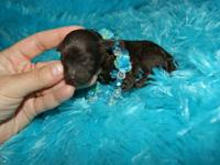 A.K.C. Reg. Toy Poodle puppies, quality healthy