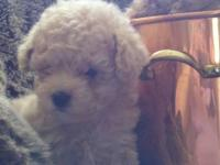 CKC toy poodle puppies, tan with black noses and eyes.