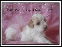 toy poodle 2 female 1 boy $400 dollars includes the