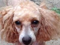 4 Yr old spayed female poodle. She is apricot and