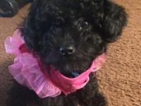 Toy Poodle Puppy Female-4 months old Black colored