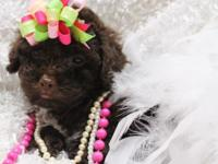 ALL SET NOW! We have 1 female Toy Poodle puppy $600 she