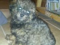 Gorgeous rare colored brindle male toy poodle. He