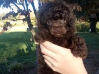CKC Reg. toy poodles. Brown male and female available.