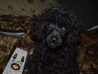 9 weeks old, male, black toy poodle. Can see both