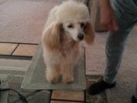 Apricot Toy Poodle. Spayed female. Dew claws removed.