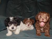 Gorgeous Toy Poodle puppies!Looking for good loving