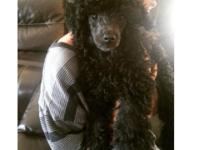 Darling male toy poodle puppy all ready for his new