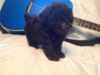 We have toy poodle puppies waiting for new loving