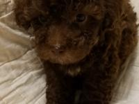 Adorable Toy Poodle puppies raised in our home with