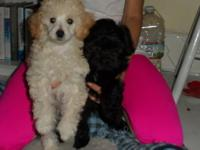 Ted is a 10 week old AKC registered toy poodle. Dallas