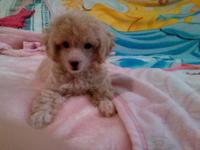 GORGEOUS & Adorable Apricot Female Toy Poodle DOB:
