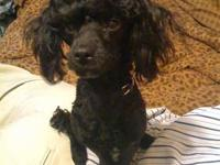 I have 1 baby boy toy poodle,ready for a home at