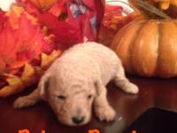 Beautiful  CKC  male toy poodle fur babies.
