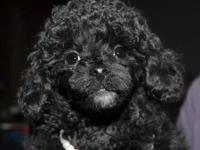 Gorgeous Toy Poodle pup available. He is 9 weeks old,