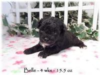 Belle is a black toy poodle with a white chest At 4 wks