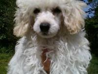 I have a lovely toy poodle puppy. Female. Nearly pure