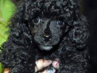 Lovely Toy Poodle young puppies readily available. They