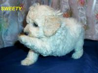 Purebred toy poodle SWEETY Sweety is a sweet loveable