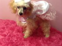 Meet Honey Bear!. She is a quite toy poodle woman. She