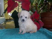 TOY POODLE YOUNG PUPPY BEAUTIFUL CREAM GUY. House
