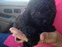 ACA registered Toy Poodle female pup She is black with