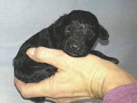 Female toy poodle AKC Tiny Toy Female D.O.B.: