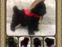 I have a beautiful Toy Poodle for adoption. She was