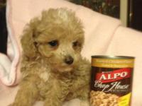ACA registered toy poodle female pup $400 Also have